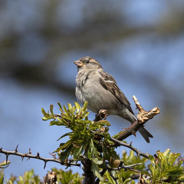 A Simple Sparrow by tralfamadorean