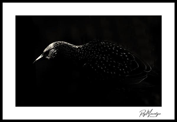 Starling. by Roymac