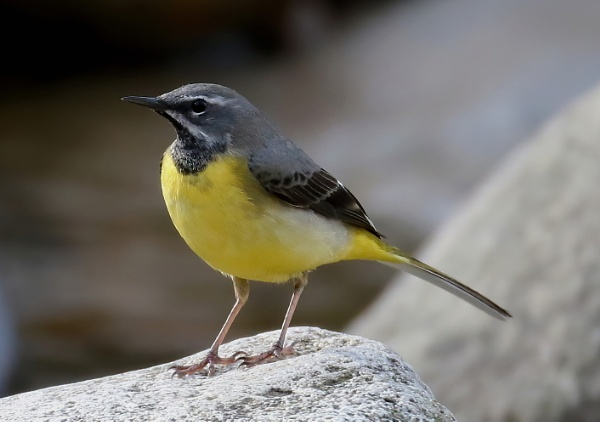 Grey Wagtail by Steveo28