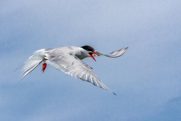 Arctic Tern by anglingandyq