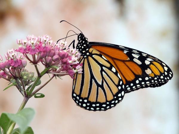 Monarch Butterfly--Danaus plexippus. by bobpaige1