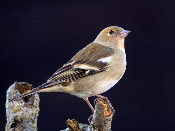 Chaffinch--Female by bobpaige1
