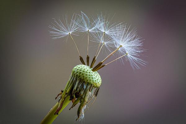 Dandelion seeds by davereet