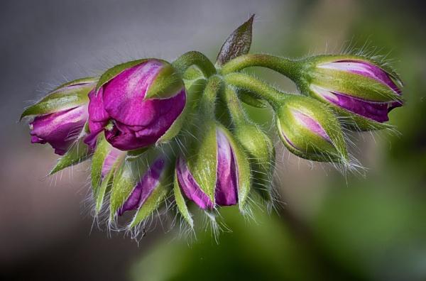 Geranium Flower by iangilmour
