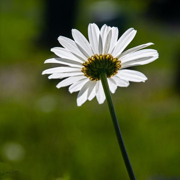 Just a daisy by LLCJ