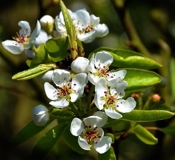 "\""Spring Blossom\"". by adrianedwa"