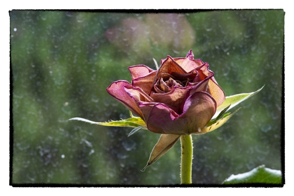 dead rose at a dirty window by bornstupix2