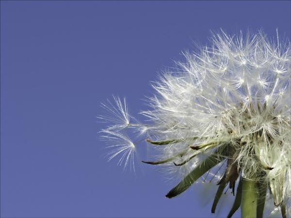 Dandelion by suemart