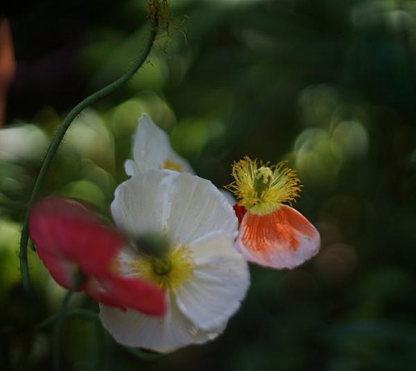 Fleurs de pavot by MAHO30