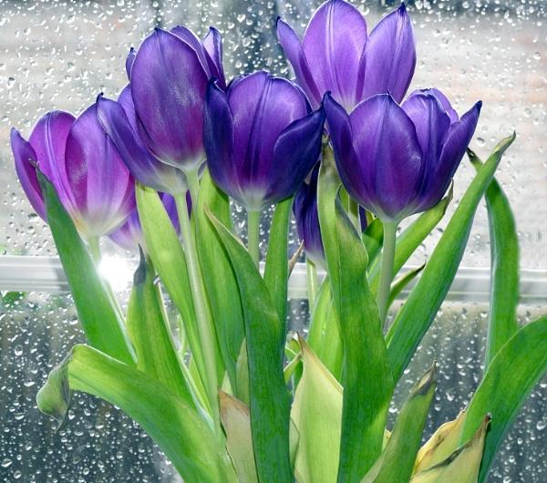 Tulips against a rain splattered window by Alan26