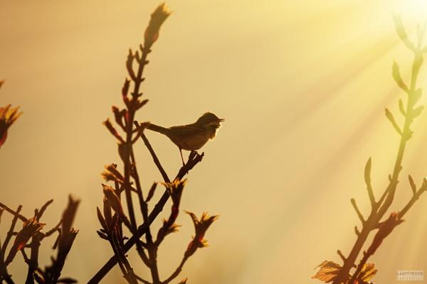 Whitethroat dawn chorus by LighthousePhotography