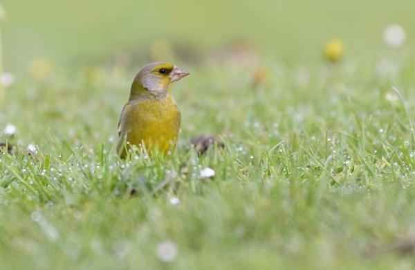 green finch by gerti62