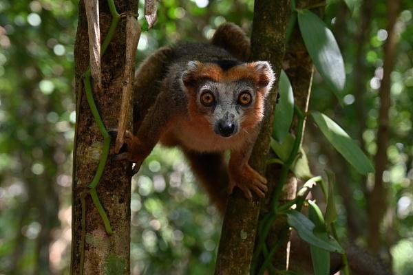 Red Lemur by LoneTrecker