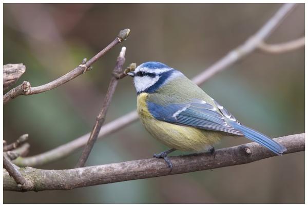 Blue tit by davidgibson