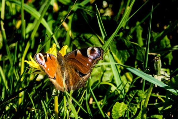 Peacock butterfly by terra