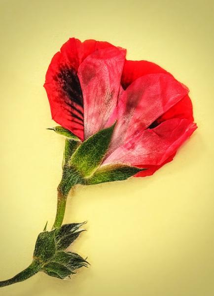 Pressed Flower by Phillbri