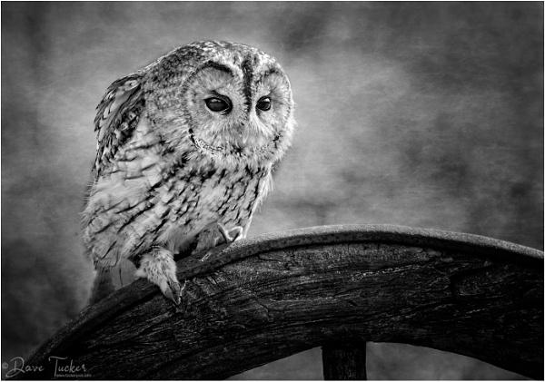 Tawny Owl by Draig37