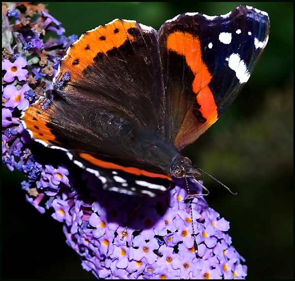 Red Admiral, Basking and Nectaring --- by Badgerfred