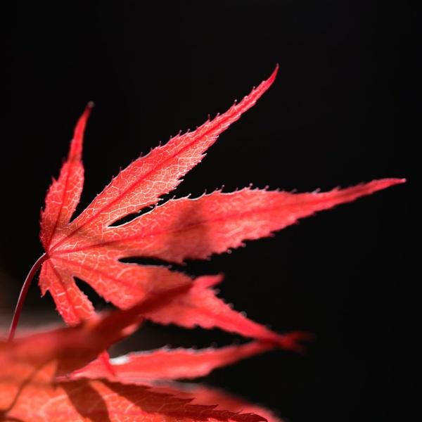 Backlit Acer by ejways