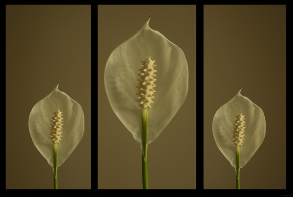 Peace Lily llllll by mex
