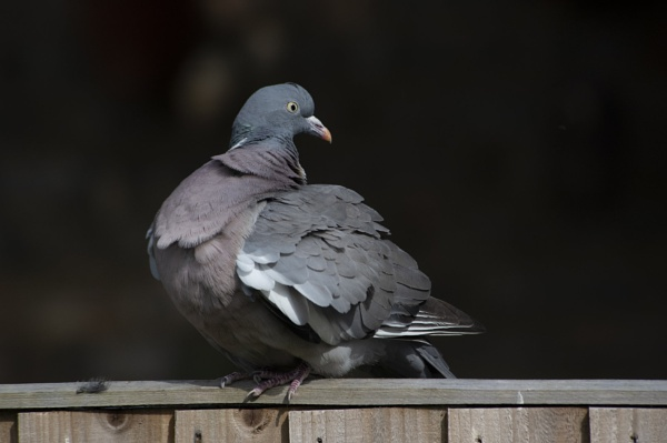Lockdown Pigeon by DonMc