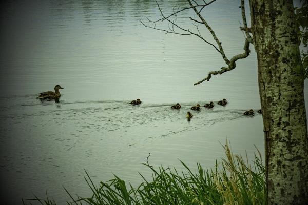 Ducklings by Daisymaye