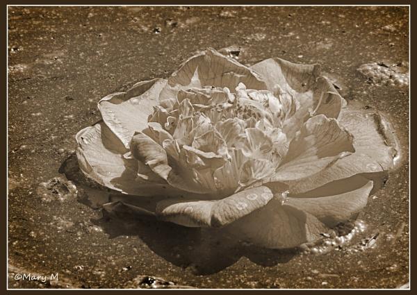 Flower Adrift by marshfam19