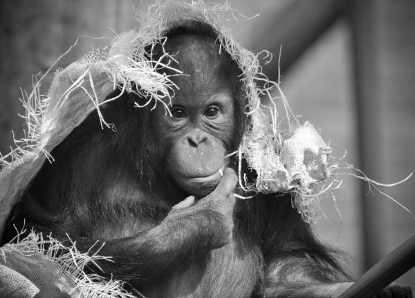 Orangutan by paulsfrear