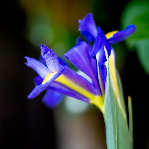 Iris flower blooming in springtime in an English garden by Phil_Bird