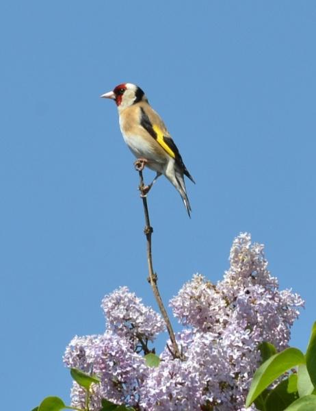 Goldfinch by hughsey