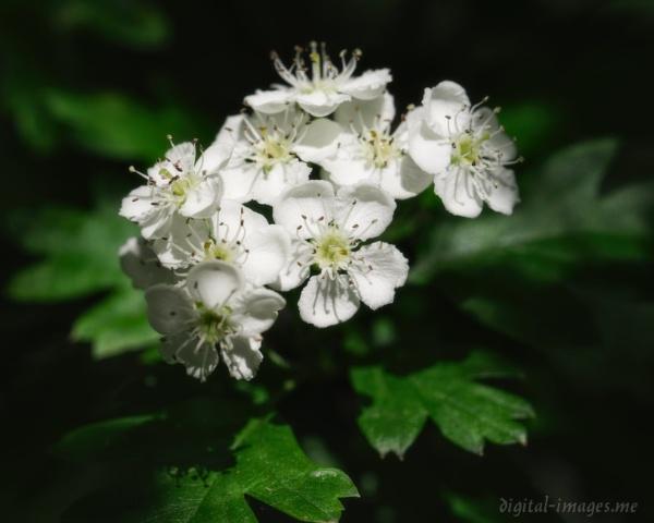 May Blossom by Alan_Baseley