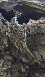 Treecreeper (Certhia familiaris)