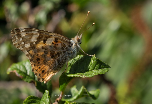Painted Lady. Vanessa cardui by kaz1