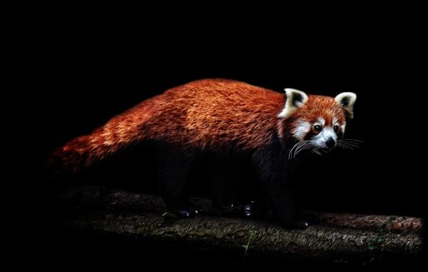 Red Panda by Steinmachine