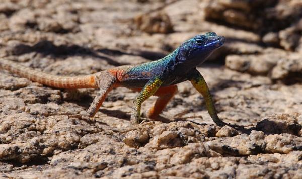 Augrabies Flat Lizard by joeblade