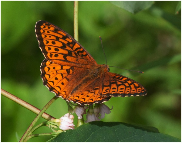 A Fritillary  (Spegena cybele)   (best viewed large) by gconant