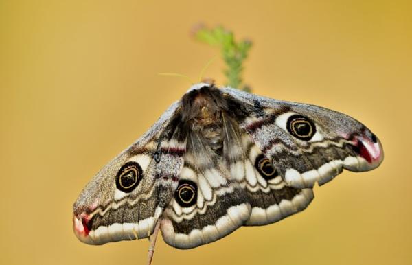 empyer moth by ruurd