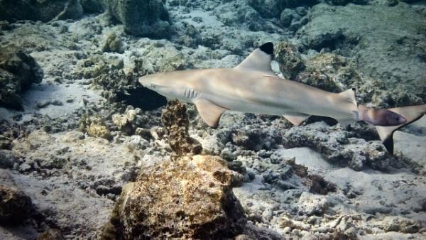 Baby shark do do do do do do by tpfkapm