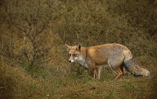 Red fox by hibbz