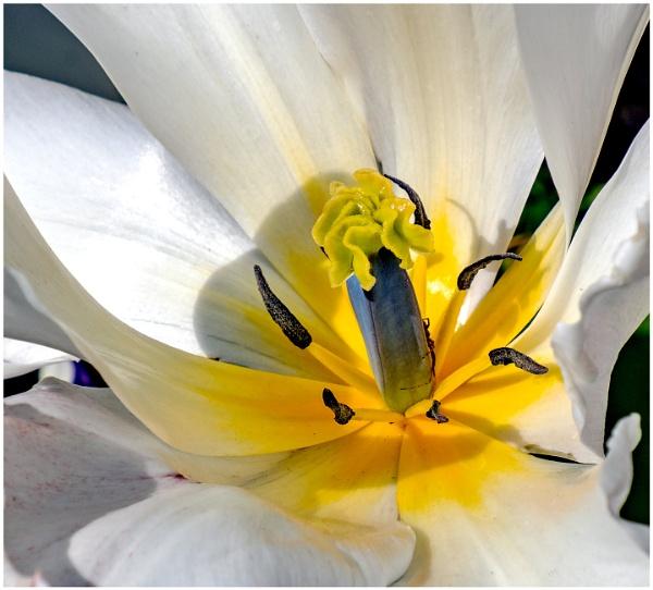 Many Tulips to Enjoy by mac