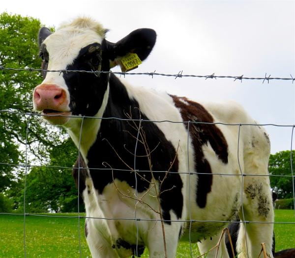 Isolating calf by ddolfelin