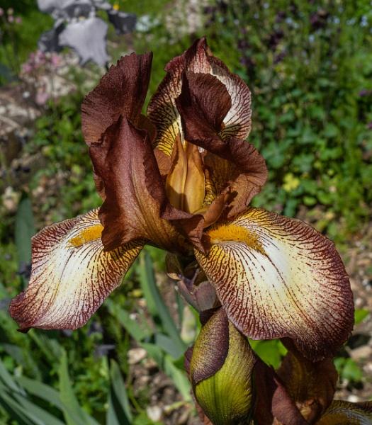 Bronze Iris 2 by Tianshi_angie
