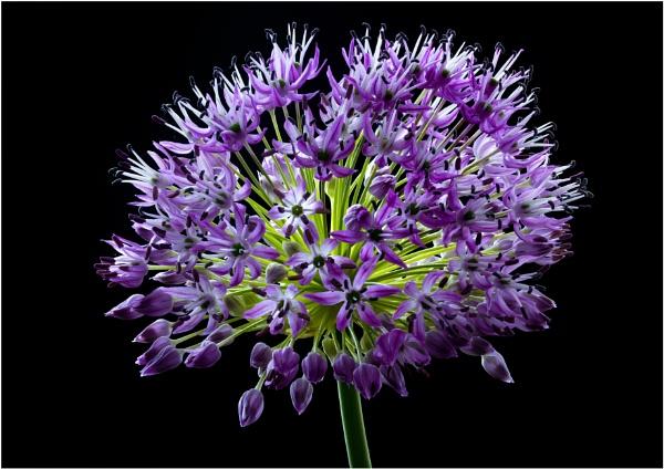 Allium by capto