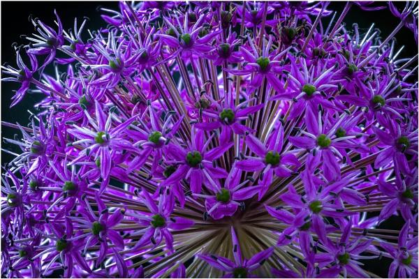 Allium 2 by capto