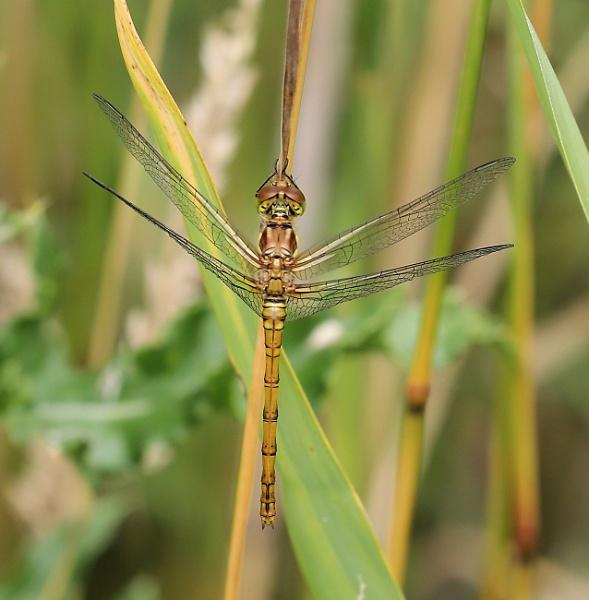 female Common Darter by Steveo28