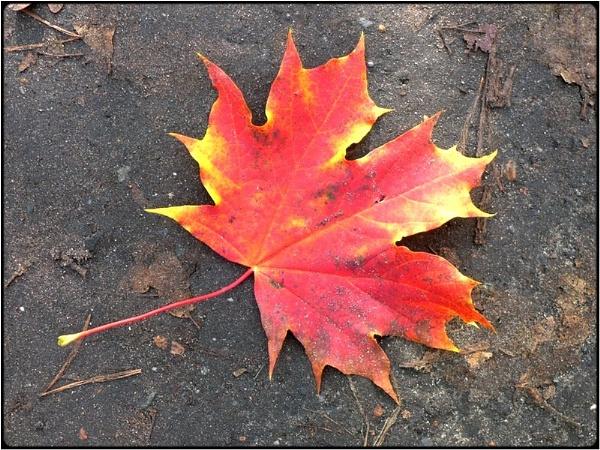 canadian maple by FabioKeiner