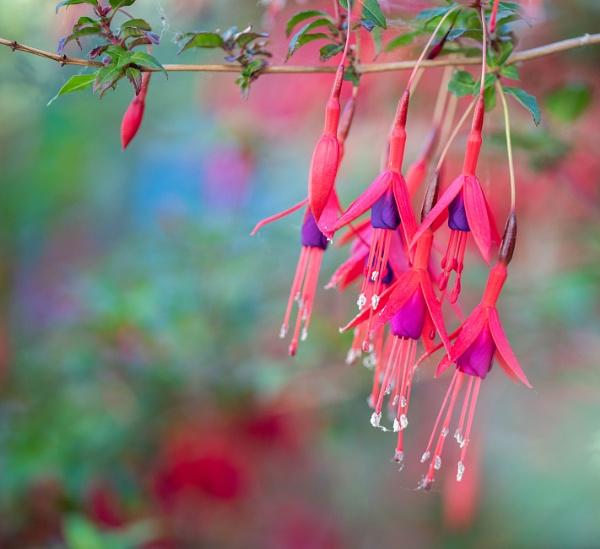 Fuchsia cascade by Danny1970