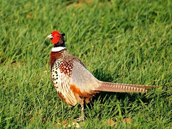 Cock pheasant by DerekHollis