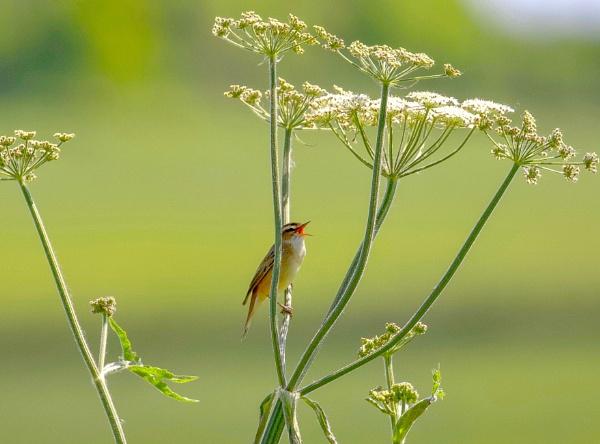 A Sedge Warbler by Lencollard