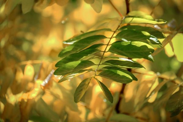 Robinia tree branch by Prizm